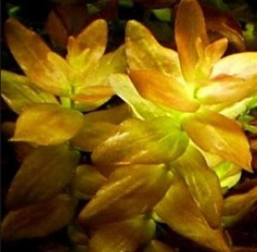 Plantas Naturais - Bacopa sp. Red (Vaso/Muda)