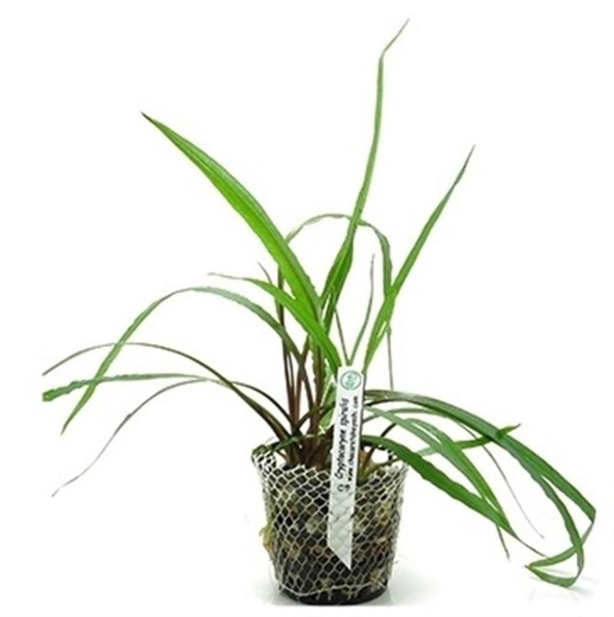 Plantas naturais - Cryptocoryne Spiralis (Vaso/Muda)