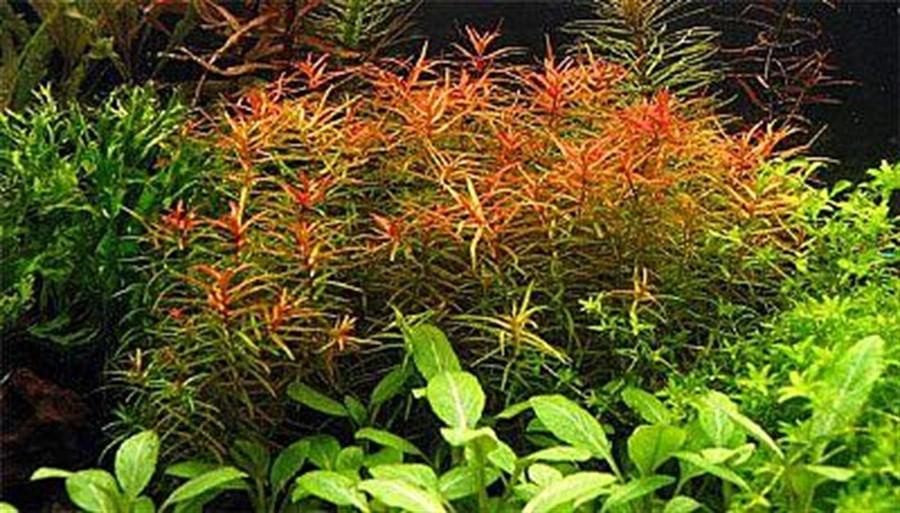 Plantas Naturais - Didiplis Diandra (Vaso/Muda)