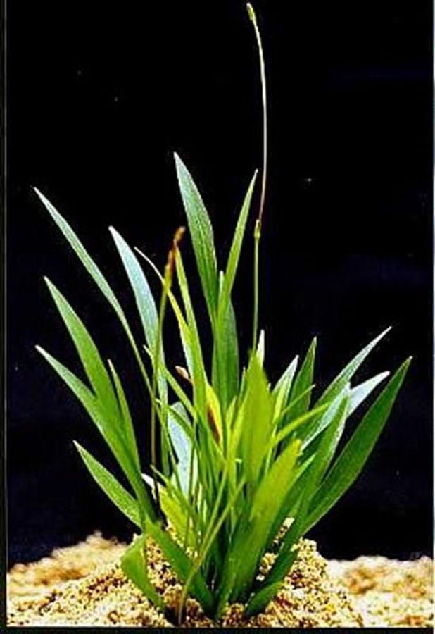 Plantas Naturais - Echinodorus Latifolius (Vaso/Muda)