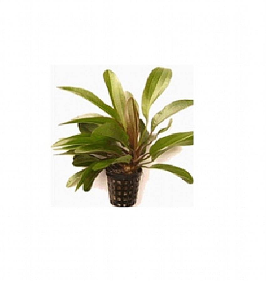 Plantas Naturais - Echinodorus Rubin (Vaso/Muda)