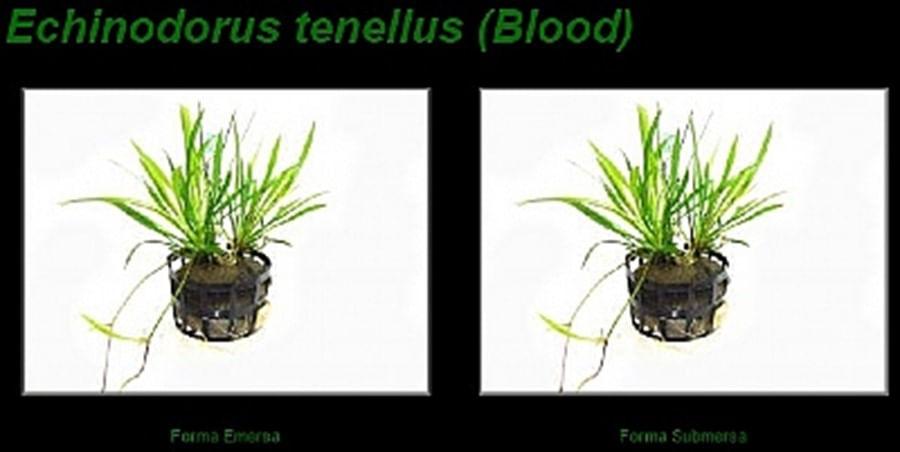 Plantas Naturais Echinodorus tenellus (Blood) (Vaso/Muda)