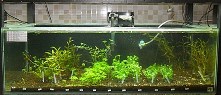 Plantas Naturais - Eleocharis minima (Vaso/Muda)