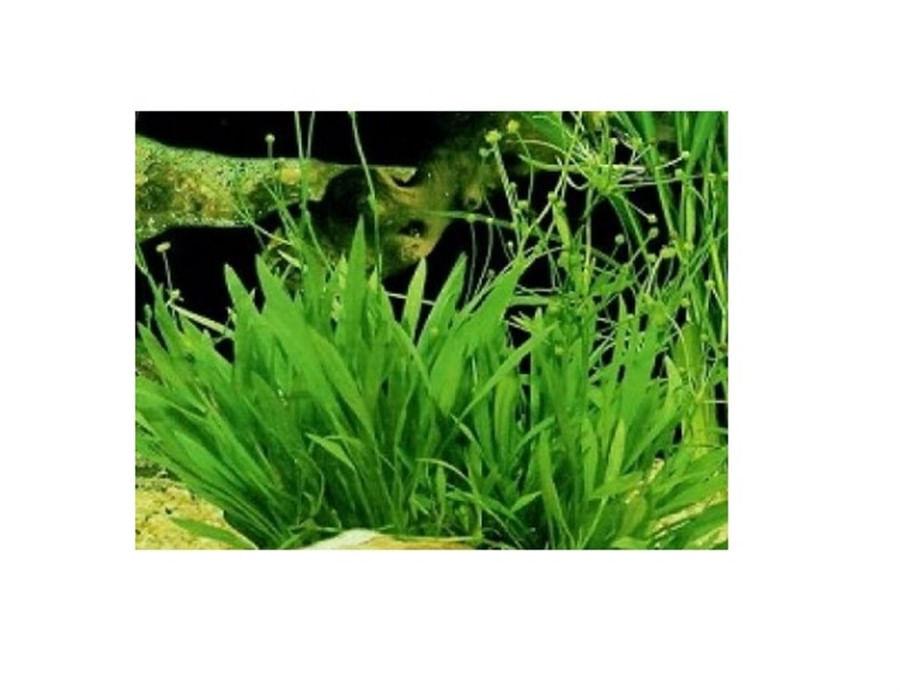 Plantas Naturais - Helanthium Tenellum - (Vaso/Muda)