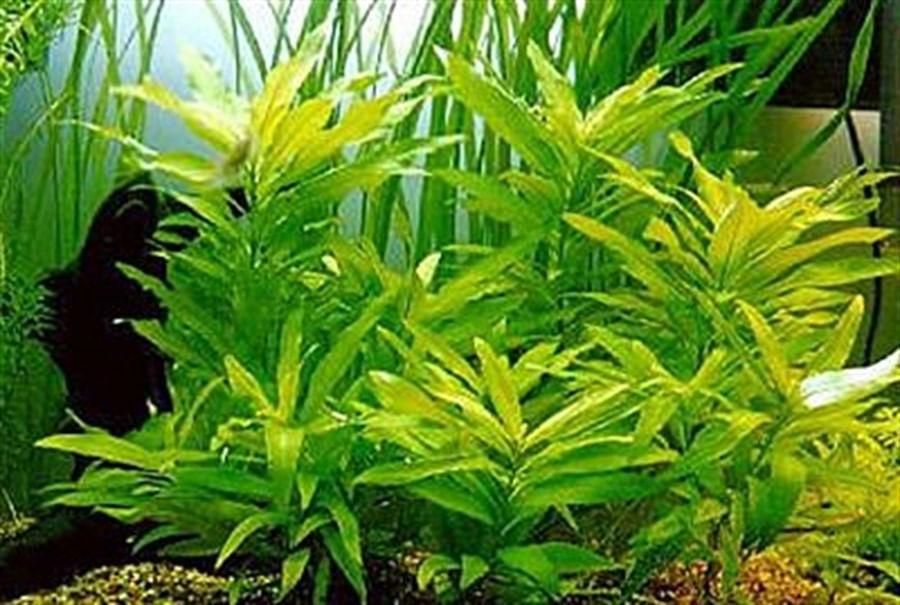 Plantas Naturais - Hygrophila Corymbosa (Vaso/Muda)