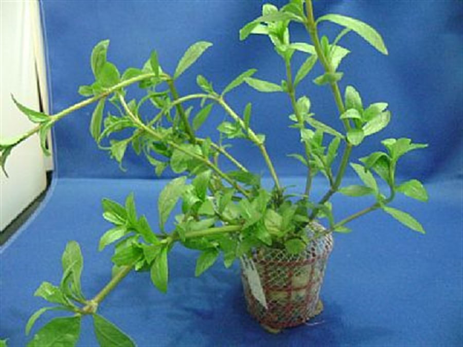 Plantas Naturais - Hygrophila Polisperma Rosanervis (Vaso/Muda)