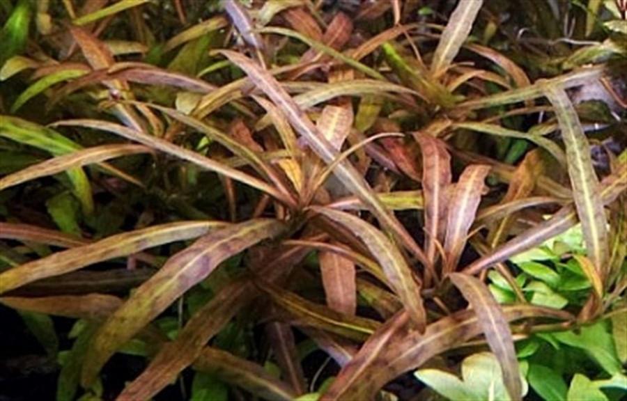 Plantas Naturais - Hygrophila sp Tiger (Vaso/Muda)