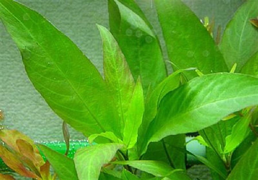 Plantas Naturais - Hygrophila Stricta (Vaso/Muda)