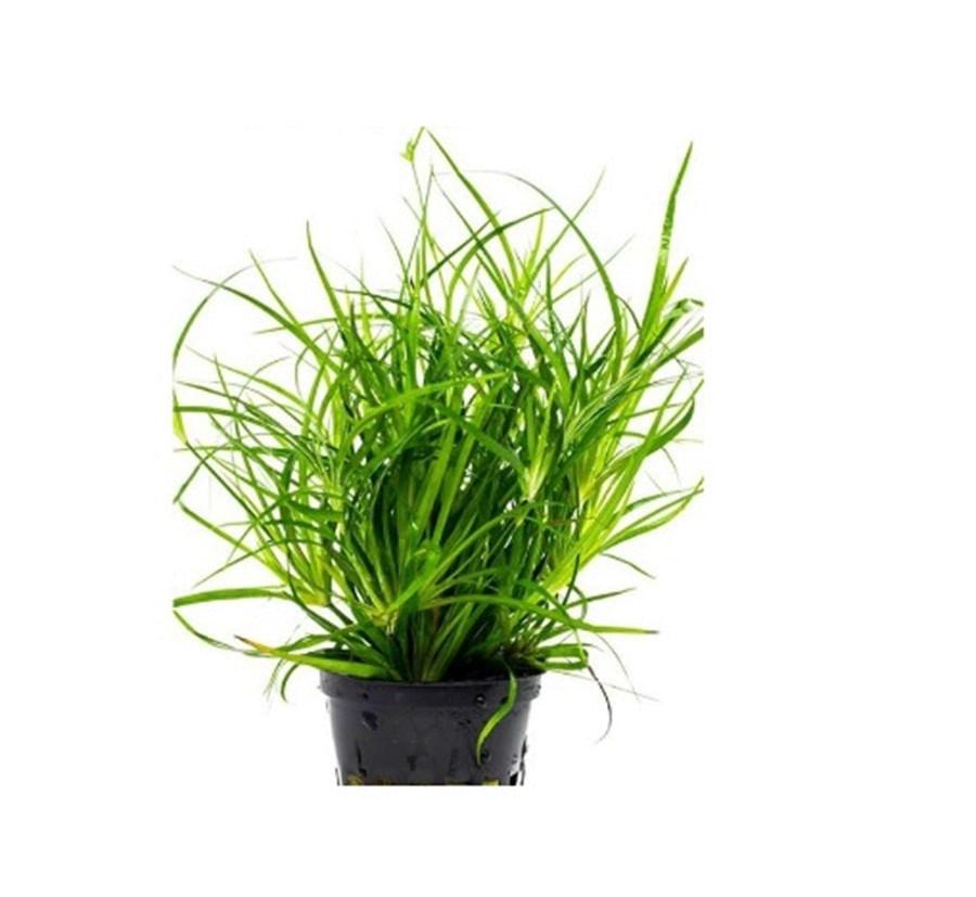 Plantas Naturais - Juncus Repens (Vaso/Muda)