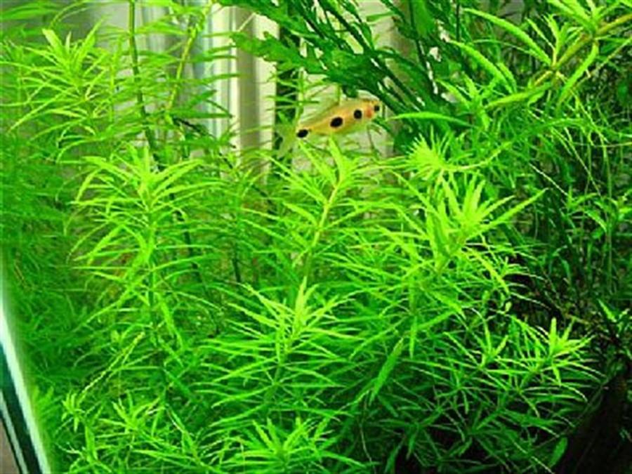 Plantas Naturais - Limnophila sp. (Vietnam) (Vaso/Muda)