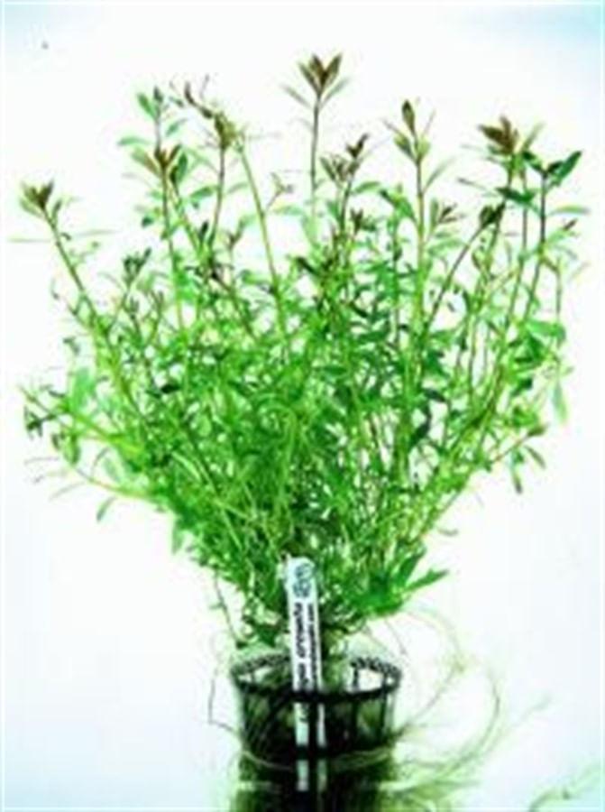 Plantas Naturais - Ludwigia Arcuata (Vaso/Muda)