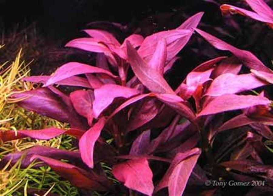 Plantas Naturais - Ludwigia Glandulosa (Vaso/Muda)