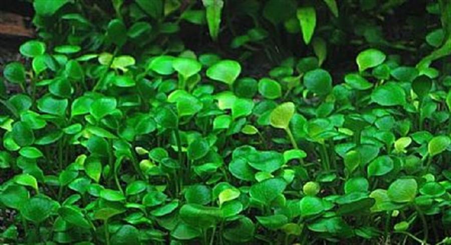 Plantas Naturais - Marsilea Hirsuta (Vaso/Muda)