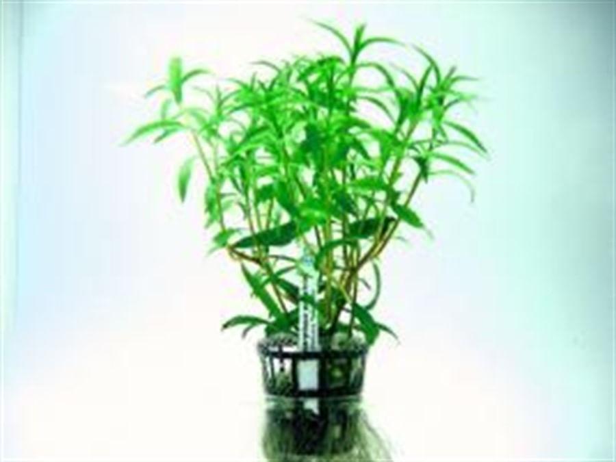 Plantas Naturais - Proserpinaca palustris (Vaso/Muda)