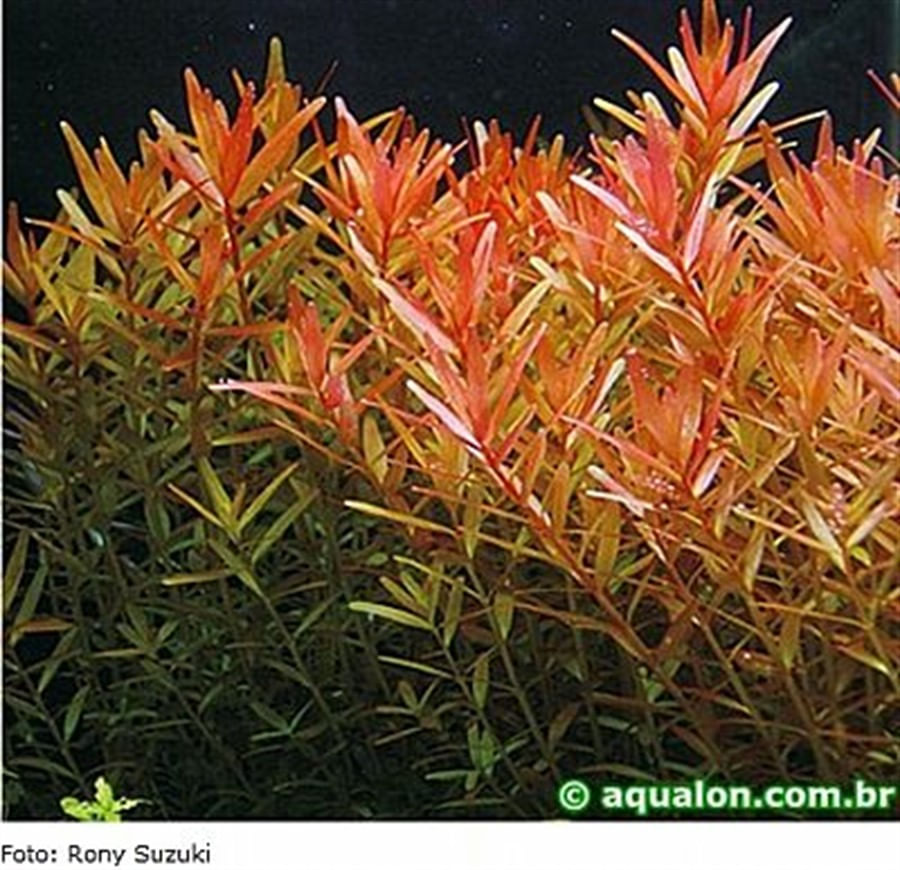 Plantas Naturais - Rotala Rotundifolia (Vaso/Muda)