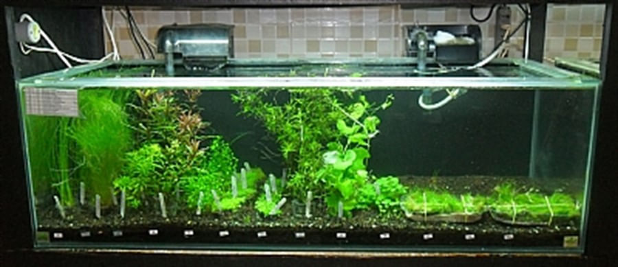 Plantas Naturais - Rotala sp.(Francisco) (Vaso/Muda)