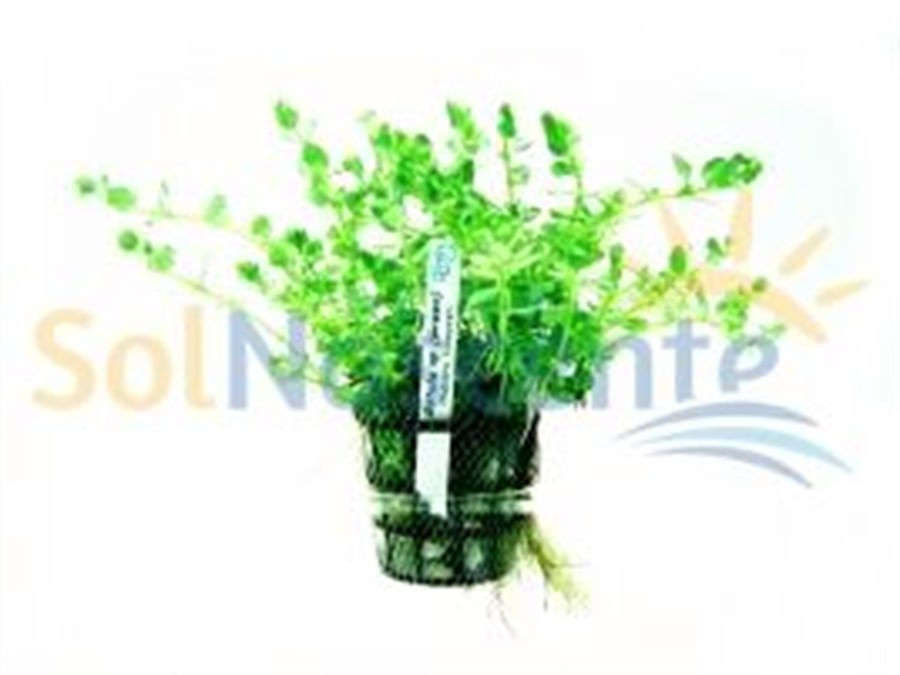 Plantas Naturais - Rotala sp.(Green) (Vaso/Muda)