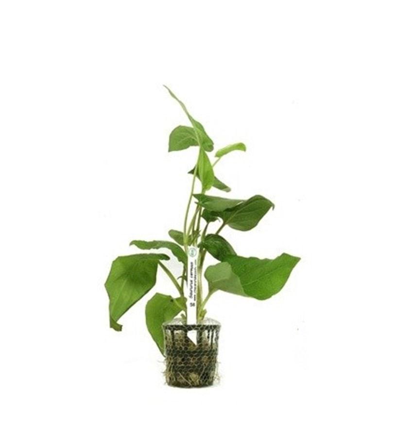 Plantas Naturais - Saururus Cernuus (Vaso/Muda)