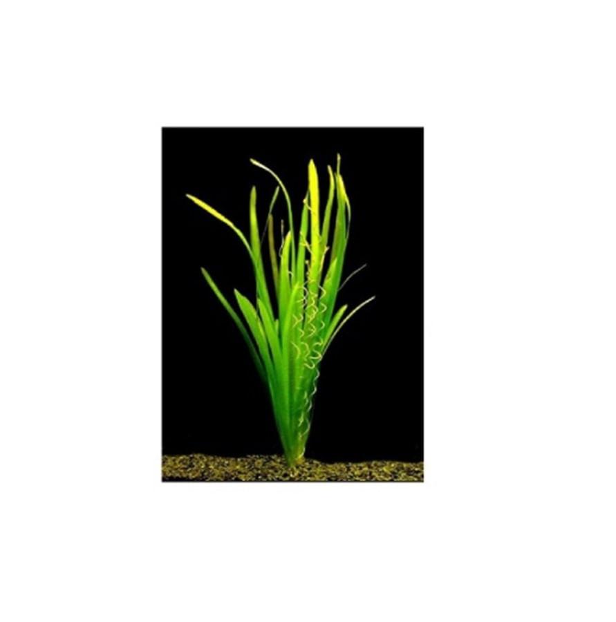 Plantas Naturais - Vallisneria Gigantea (Vaso/Muda)