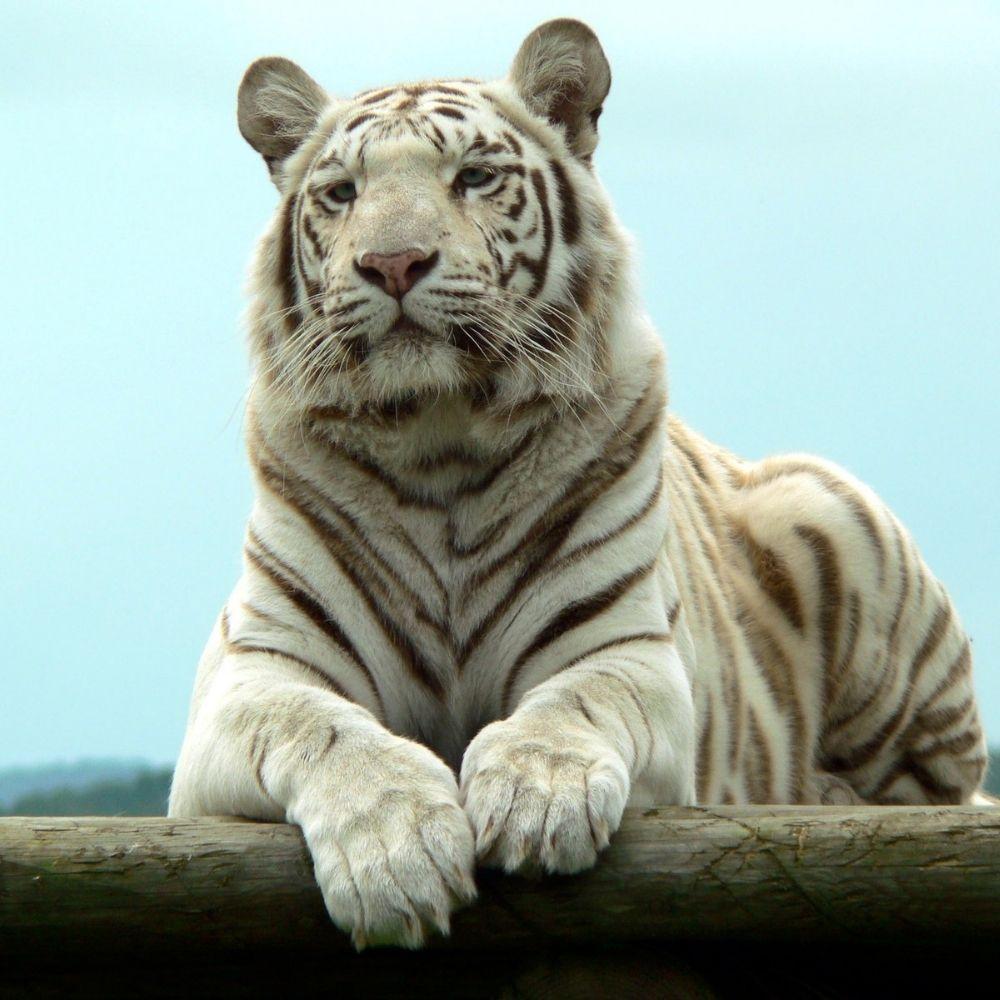Adesivo Para Box De Banheiro 3d Tigre Branco II Largura Total Até 120cm