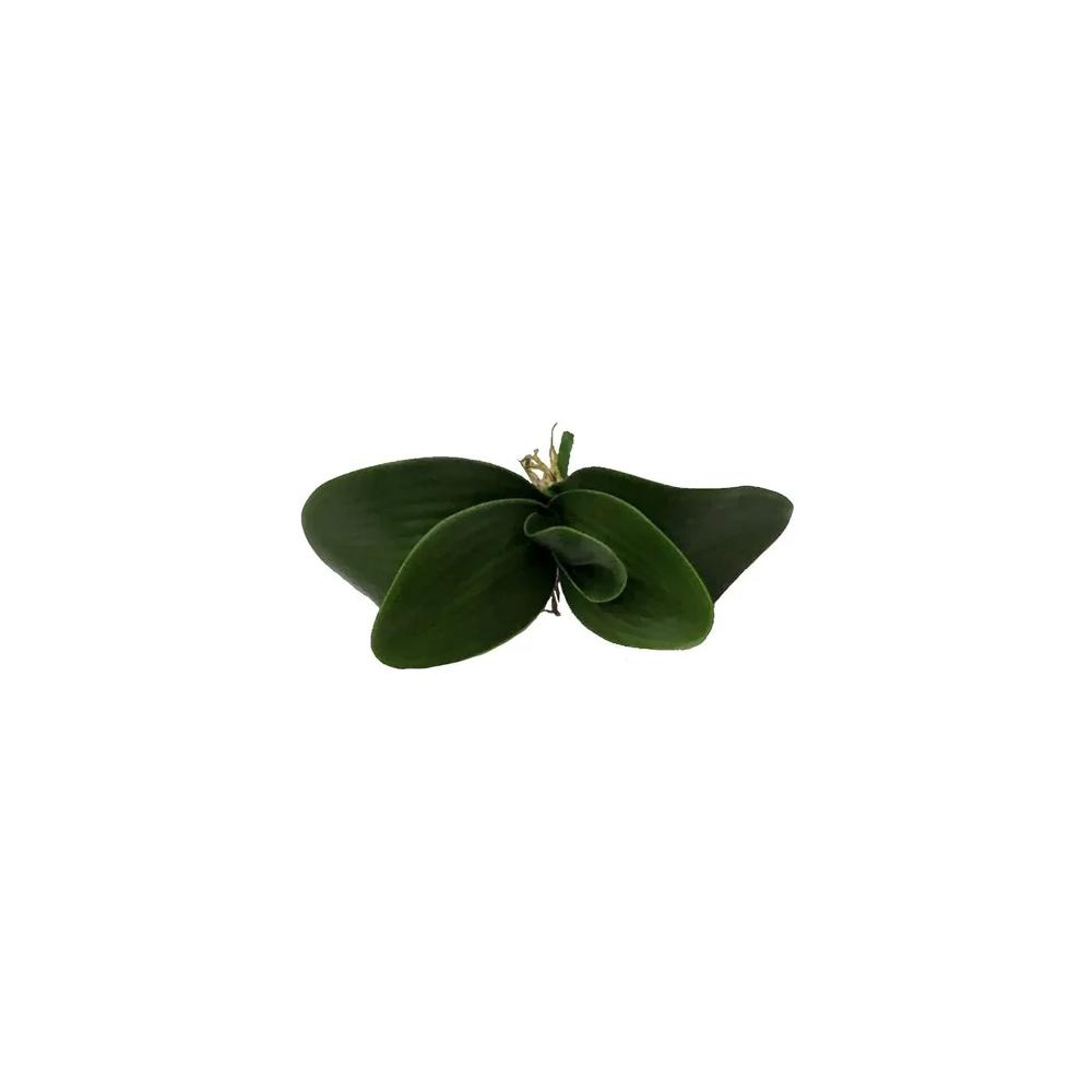 Folhas De Orquídeas