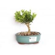 Bonsai Buxus Harlandi 2 Anos