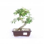 Bonsai Cotoneaster Pêndula 6 Anos