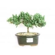 Bonsai Juniperus Procumbens 3 Anos