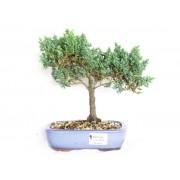 Bonsai Juniperus Procumbens 4 Anos