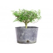 Pré Bonsai Peppertree 2,5 Anos