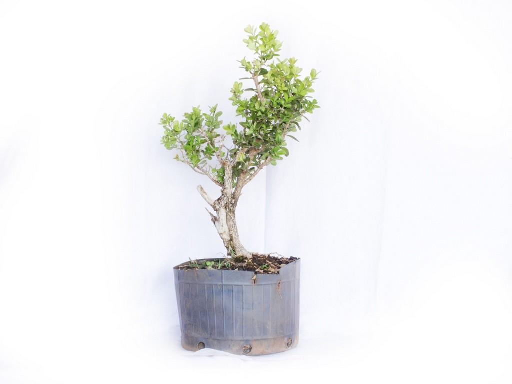 Pré Bonsai Buxus Sempervirens 4 Anos