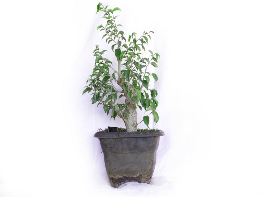 Pré Bonsai Ficus Boni 4 Anos