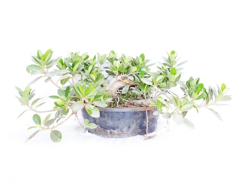 Pré Bonsai Ficus Formosana (Green Island) 6 Anos