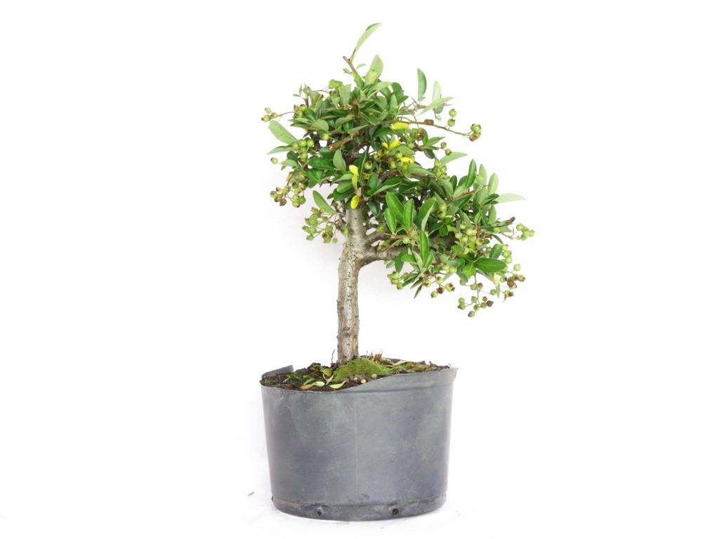 Pré Bonsai Pyracantha Amarela 2,5 Anos