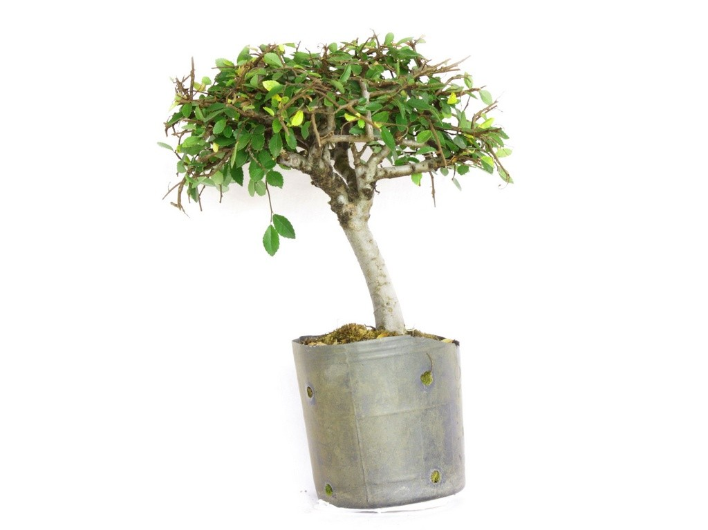Pré Bonsai Ulmus Parvifolia 3 Anos