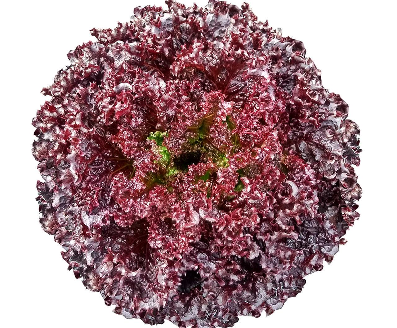 Sementes de Alface Especialidade Crespa Roxa Luminosa NBR 35  - Topseed Premium