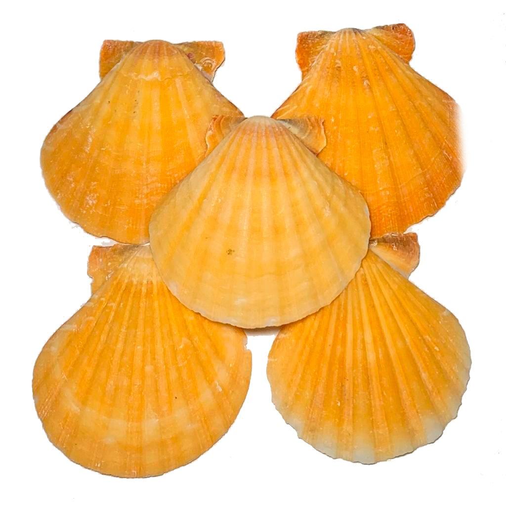 Concha Natural