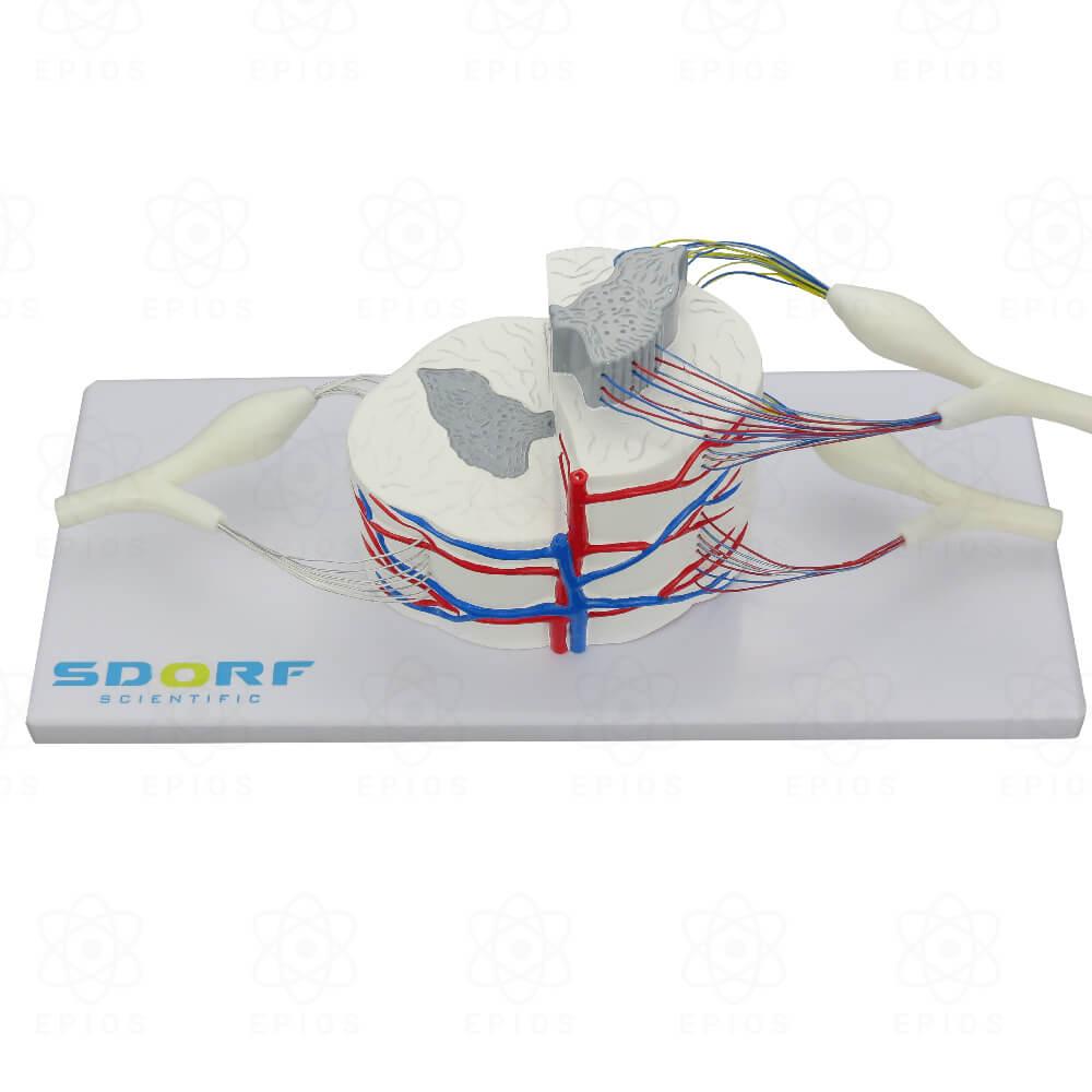SD5037/D MEDULA ESPINHAL AMPLIADA