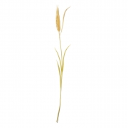 Planta permanente trigo