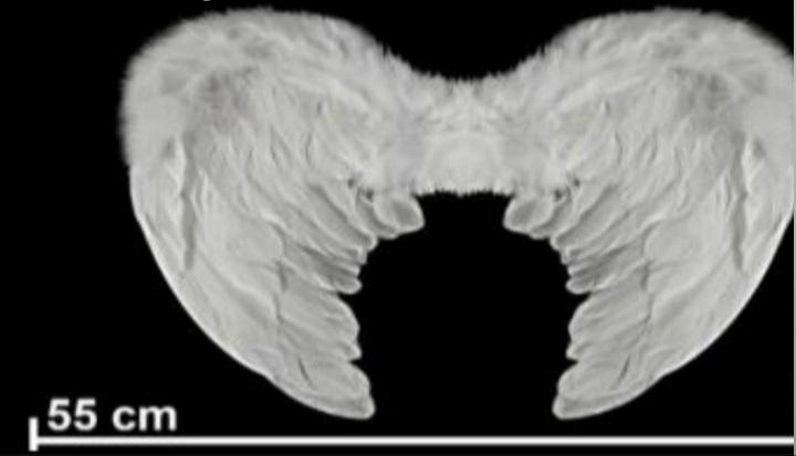 Asa de Anjo  Branco -