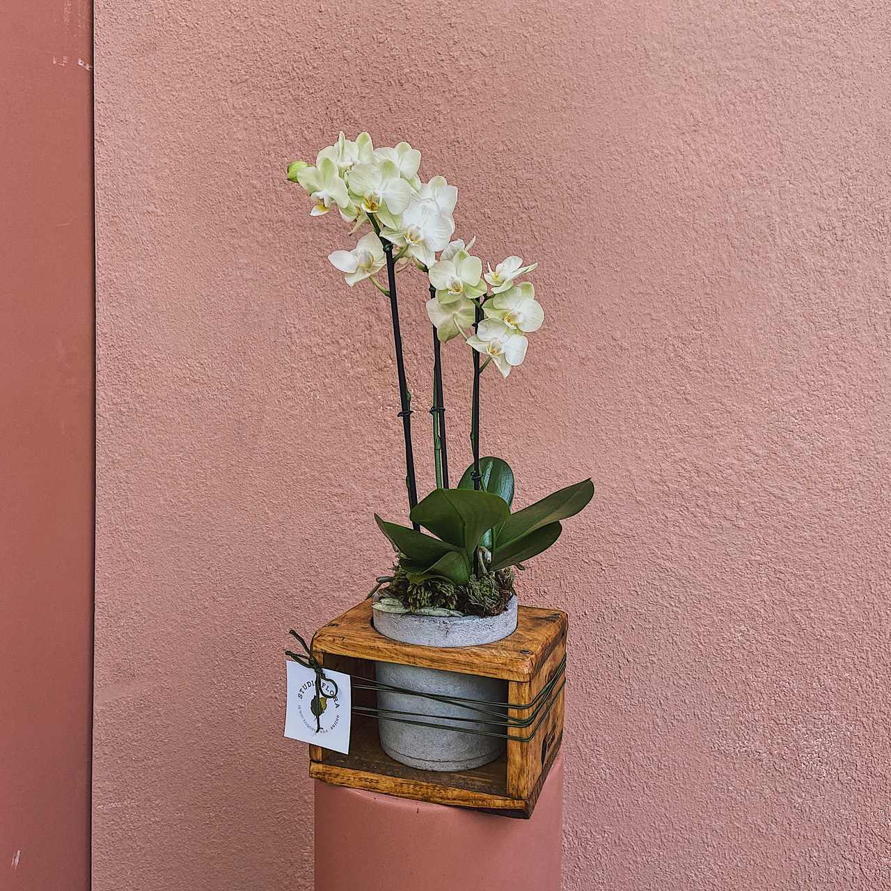 Vaso Imbuia com Orquídea
