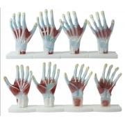 Anatomia das Mãos 4 Partes - COLEMAN - Cód: COL 1325