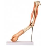 Braço com Músculo Articulado - ANATOMIC - Cód: TGD-0330-A