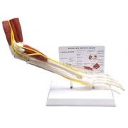 Braço Com Ossos, Músculos, Ligamentos e Nervos COLEMAN - COL 3731