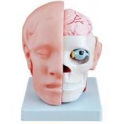 Cabeça Com Cérebro 10 Partes COLEMAN - Cód: COL 1318-B