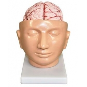 Cabeça Com Cérebro com Artérias 9 Partes COLEMAN - Cód: COL 1318