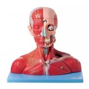 Cabeça e Pescoço Muscular C/ Vasos, Nervos e Cérebro em 19 Partes - ANATOMIC - Cód: TZJ-4006-A