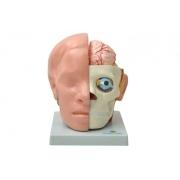Cabeça em 10 Partes C/ Cérebro - SDORF - Cód: SD-5037/B