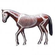 Cavalo - Anatomia e Esqueleto COLEMAN - COL 3631