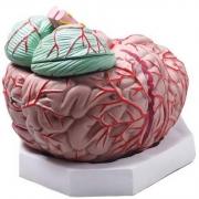 Cérebro Ampliado 12 Partes COLEMAN - COL 3305